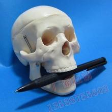 human body skeleton price