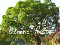 Wholesale - 60 seeds Camphor Tree seed Cinnamomum camphora Tropical Seeds free shipping