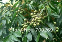 Wholesale - RARE 25 Sapindus Mukorossi Soap Nut Soapberry Seeds Fresh free shipping