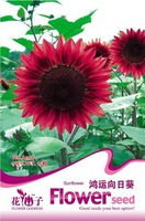 5 Pack 75 Seed Sunflower Seeds  Red Fortune Flower A108