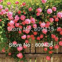 Free Shipping 100 pcs of Climbing Rose Seeds free shipping, DIY Home Garden