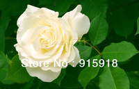 (FREE SHIPPING ,NOW BUY ONE GET ONE FREE ,GET 400Seeds )Chinese White Rose Seeds Your Lover Plant For Sweet Lover