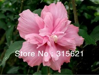 Free shipping 100pcs/pack Rose of Sharon seeds,Hibiscus syriacus L.desert rose seeds,traditional Chinese medicine,Edible