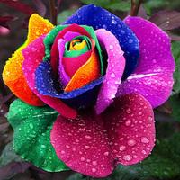 Beautiful Rainbow Rose Seeds Multi-colored Rose seeds Rose Flower Seeds