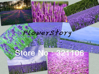 Free shipping, rare combinations of eight different varieties of lavender, floral vanilla seeds