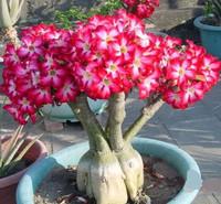 5pcs/bag red adenium flower No.16 seeds DIY Home Garden