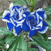 5pcs/bag blue adenium flower No.14 seeds DIY Home Garden