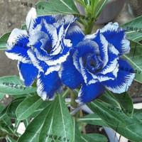 5pcs/bag blue adenium flower No.14 seeds DIY Home Garden