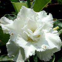 5pcs/bag white adenium flower No.6 seeds DIY Home Garden