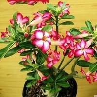 5pcs/bag red adenium flower No.18 seeds DIY Home Garden