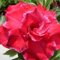 5pcs/bag red adenium flower No.3 seeds DIY Home Garden