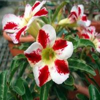 5pcs/bag red adenium flower No.21 seeds DIY Home Garden