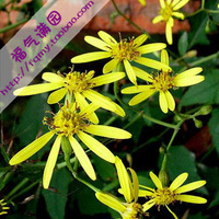 20pcs/bag Senecio Seeds DIY Home Garden