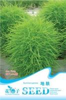 Free Shipping 3 Packs 300 of Summercypress Seeds,Grass Burning Bush Kochia Scoparia F013