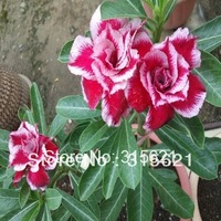 Colorful Bonsai Double Adenium obesum Polyphyll Desert Rose Flower Mix Seeds 10 pcs Free Shipping