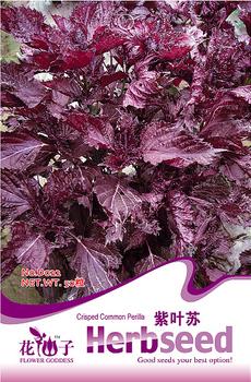 5 Pack 250 Seed Purple Perilla Seeds Crisped Common Perilla Shiso Frutescens D022