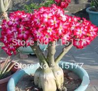Bonsai Flower Red Monopetalous Adenium Obesum Seeds (Desert Rose)  20pcs Free Shpping