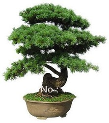 Free Shipping 30pcs/pack Japanese five-leaved pine bonsai Plants tree seeds(China (Mainland))