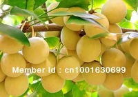 SD0520 Ginkgo Seeds,  Delicious Flavour , Rare Heirloom Seeds, 90%+gemination,50 Seeds, free shipping