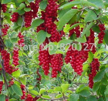 Free shipping 30 Seeds Schisandra chinensis Seeds/Wuweizi seeds ,Chinese herbal medicine planting seeds(China (Mainland))