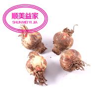 free shipping new Plants flower bonsai derlook amaryllis plant bulbs macrospheric multicolor seed (2 ball)