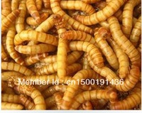 Live mealworms 1000 for birds , Hedgehogs, Opossums, Skunks, large lizards, aquatic and land turtles