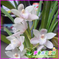 orchid seeds cymbidium seeds flower seeds - 88 seeds