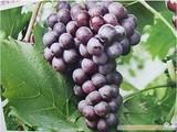 Large seedless grapes, Venus seedless grapes seeds 50 pcs