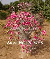 Mixed color Adenium obesum Desert  Rose Seeds  ,Bonsai Flower seeds 20PCS only $9.99  Free Shipping garden flower