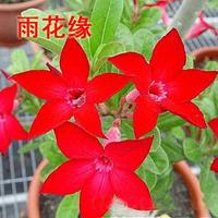adenium flower seed,5pcs/bag red adenium plant botany flora greenery  flower seed obesum Desert Rose Seeds,BW041109