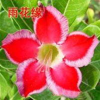 adenium flower seed,5pcs/bag red adenium plant botany flora greenery  flower seed obesum Desert Rose Seeds,BW041111