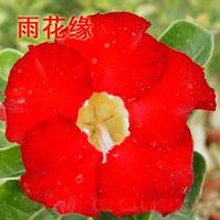 adenium flower seed,5pcs/bag red adenium plant botany flora greenery  flower seed obesum Desert Rose Seeds,BW041121