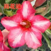 adenium flower seed,5pcs/bag pink adenium plant botany flora greenery  flower seed obesum Desert Rose Seeds,BW041106