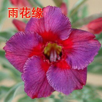 adenium flower seed,5pcs/bag purple adenium plant botany flora greenery  flower seed obesum Desert Rose Seeds,BW041108