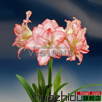 Flowering plants, potted flowers, bulbous species Hippeastrum, multicolor.