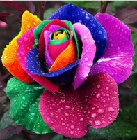 Beautiful Rainbow Rose Seeds Multi-colored Rose seeds Rose Flower Seeds