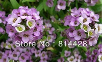Free shipping aout 300 Seeds Purple Sweet Alyssum (LOBULARIA MARITIMA BENTHAMII) $5.49 * Alyssum Snow Ball