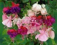 Free shipping Flower boutique plant bonsai maut mixed fuchsia type seeds 100 pcs