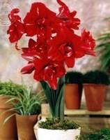 Amaryllis bulbs witch red charm, 2pcs