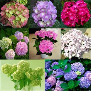 Free shipping 23 kinds Flower seeds ( Multi-Colored Geranium flower seeds ) Hydrangea evergreen woody flowering long Hydrangea(China (Mainland))