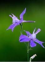 Larkspur Herb Seeds Flower Seeds DIY Potted Garden Ornamental Plant Seeds 100Pcs/Bag
