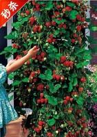 100pcs/lot red climbing strawberry Seeds