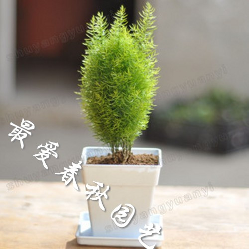 2013 the new special offer. Four seasons evergreen pine seedlings goatswool office desk goatswool bonsai size(China (Mainland))
