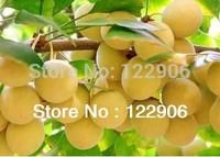 SE003 Ginkgo Seeds, 30 Ginkgo Biloba Fruit Seeds, Rare Heirloom Seeds, Free shipping