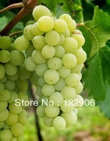Free shipping, Delicious White Grapes Seeds, Fresh Fruit Tree Seeds, 30 seeds with Gift SE002