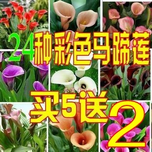 Bonsai multicolour calla lily bulbs hydroponic calla lily color calla(China (Mainland))