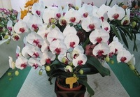 * 0.99$ Free shipping * Min.order is $7.99  (mix order) Butterfly orchid seeds indoor potted or balcony office flowers seeds
