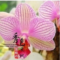 * 0.99$ Free shipping *  Min.order is $7.99  (mix order)  Butterfly Orchid Flower Seeds Phalaenopsis  1 pack 10 seeds AAA+