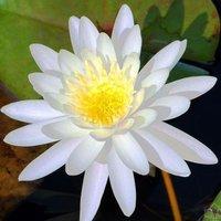 30 pcs fragrantLotus Flower Seeds Gorgeous Lotus Aquatic Label