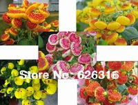 90pcs/lot Calceolaria PuBao Flower seeds , FLOWER SEED POT FLOWER PLANT GARDEN BONSAI FLOWER SEED DIY HOME PLANT